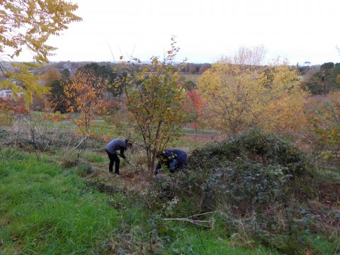 clearing-nut-trees-follaton-nov-2016
