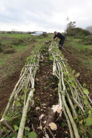 Double comb hedge laying, Rattery