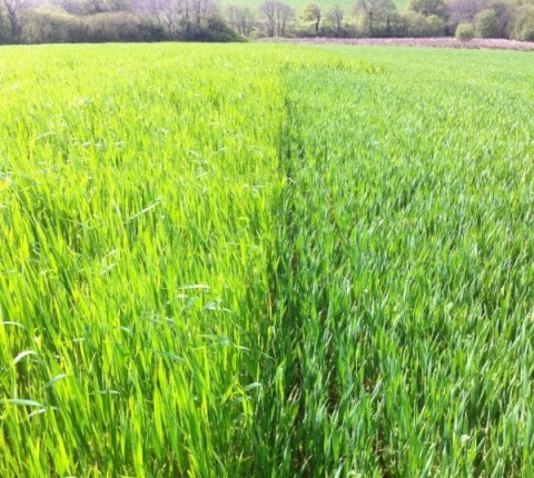 Wheat and spelt growing side by side