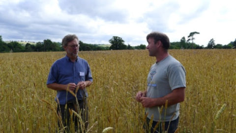 Grain breeder John Letts, who supplied the seed, talks with Dartington farmer Jon Perkin in the field of heritage wheat which he has grown.